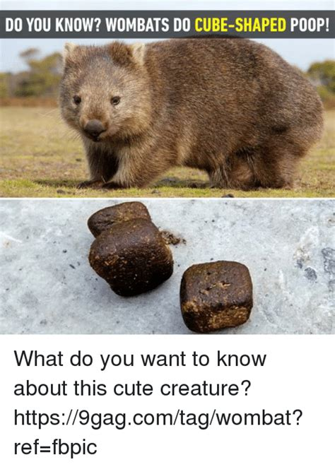 Wombat Memes - do you know wombats do cube shaped po0p what do you want to know about this cute creature