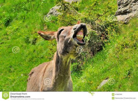 big smile  donkey stock photo image