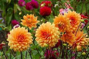 Welche Blumen Blühen Im August : dahlien bl tenpracht im sp tsommer und herbst garten blog ~ Orissabook.com Haus und Dekorationen