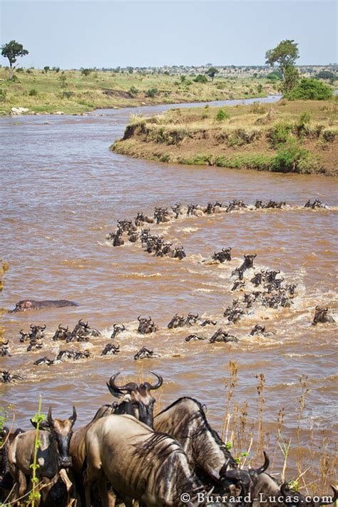 gnu migration burrard lucas photography