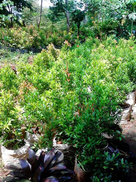 jual aneka tanaman hias pucuk merah brokoli sambang