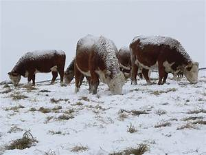 Clean water is crucial for cattle in winter months | Beef ...