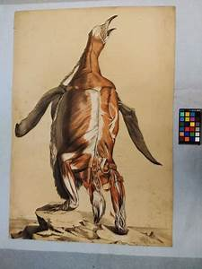 Flayed Penguin  Anatomical Drawings By William Henry Fisk