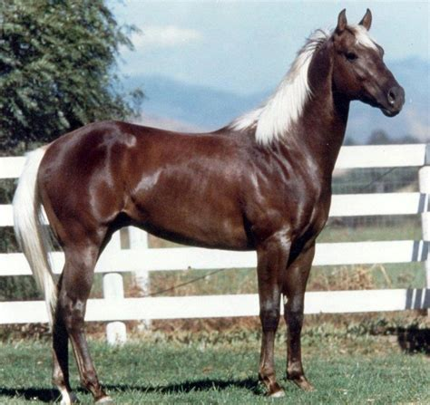 horse rocky quarter horses american mountain gaited looks mountains