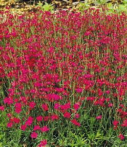 Rote Stauden Winterhart : rote heidenelke polsterstauden bei baldur garten ~ Michelbontemps.com Haus und Dekorationen