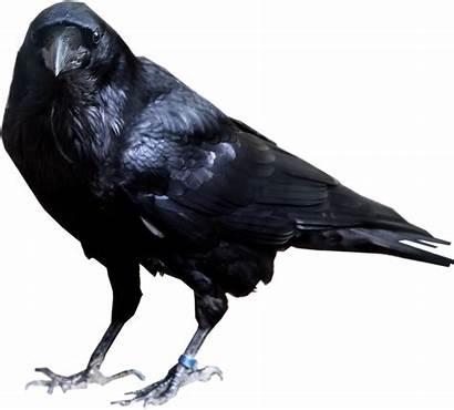 Raven Transparent Background Bird Crow Cool