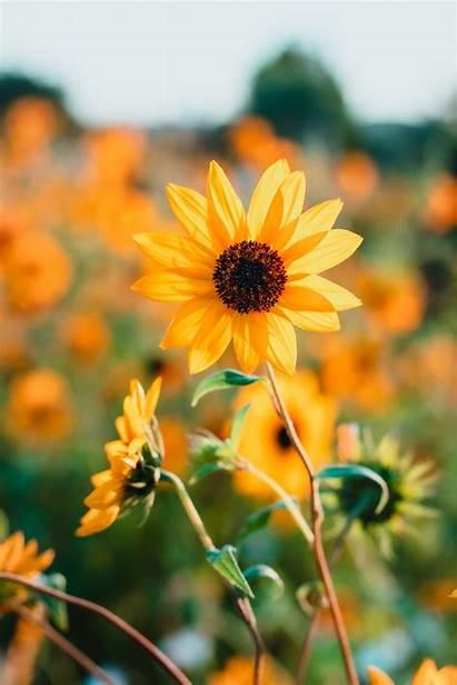 Sunflower Yellow Petals Unsplash