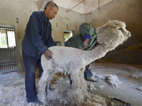 Sheared Alpaca Business Insider