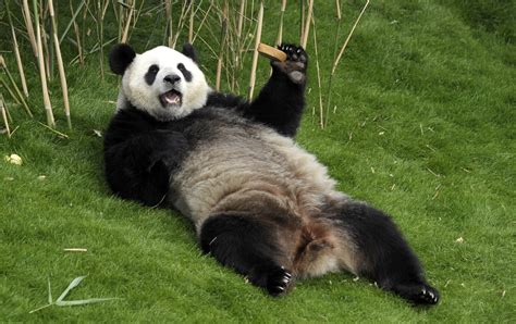 Panda Facts: 20 Interesting Facts About Giant Pandas