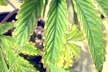 Diseases That Attack Cannabis Plants