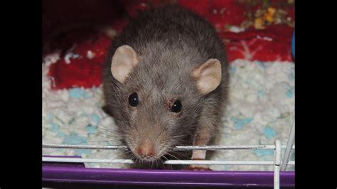 pet rat  pituitary tumor   eat youtube