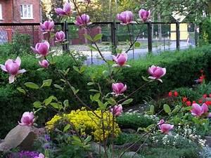 Magnolie Blüht Nicht : tulpenmagnolie magnolia x soulangeana 39 rustica rubra 39 pflanzen enzyklop die ~ Buech-reservation.com Haus und Dekorationen