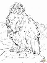 Condor Coloring Grand Canyon California Coloriage Condors Colorare Disegni Imprimer Dessin Takes Break Disegno Animals Designlooter Coloriages Californie Drawings Immagini sketch template