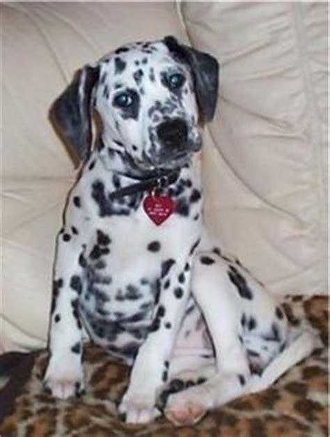 beaglemation dalmatian beagle mix info puppies pictures