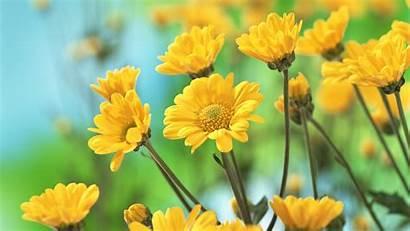 Yellow Flower Flowers Baltana Wallpapers