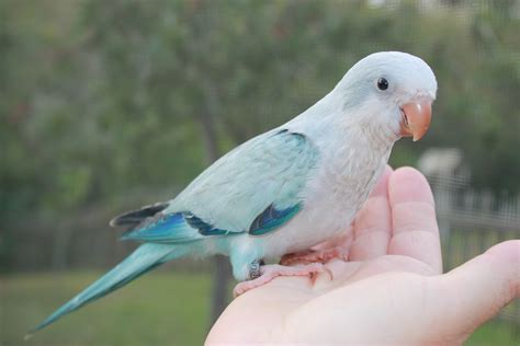 blue quaker parrot blue pallid quaker parrot friendly bird aviaryfriendly bird aviary
