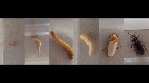 documentary quot mealworm to beetle ontogeny
