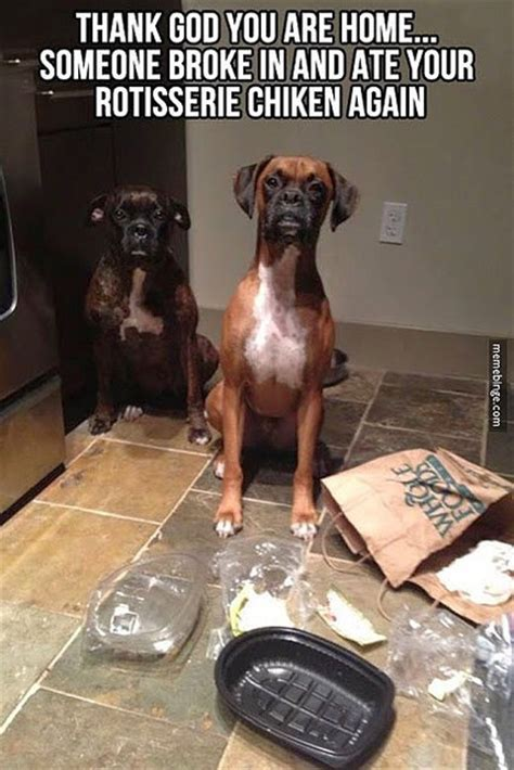 Funny Boxer Dog Memes - at home treatments for pet colds healthy paws pet insurance