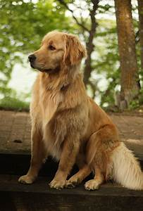 Golden Red River : best 25 golden retrievers ideas on pinterest golden retriever puppies retriever puppy and ~ Orissabook.com Haus und Dekorationen