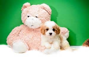 Toy Cavapoo Puppies for Sale