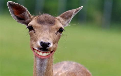 deer funny   high definition wallpapers high