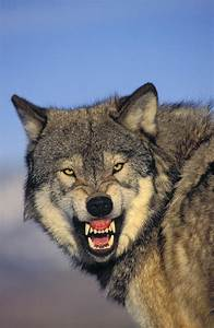 T.kitchin Wolf Snarling Photograph by First Light