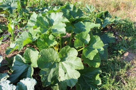 courgettes culture semis et r 233 colte au potager ou en pot