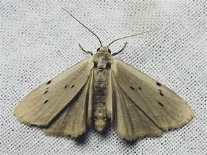 Crottes De Souris : pelosia muscerda crotte de souris le monde des insectes ~ Melissatoandfro.com Idées de Décoration