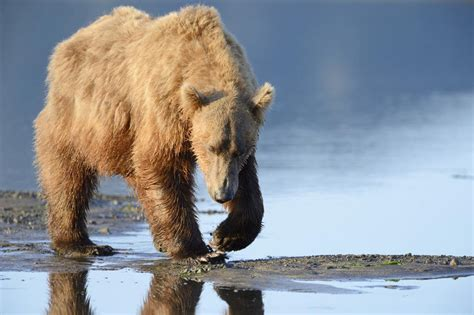 Grizzly Bear Hibernation