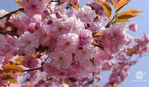 Planter Un Cerisier : cerisier du japon vari t s plantation entretien ~ Melissatoandfro.com Idées de Décoration