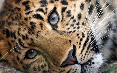 Wild Cats Wallpapers Animals