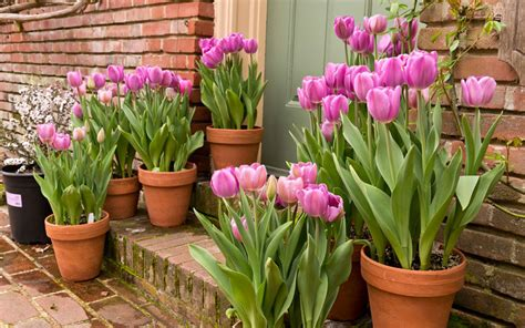 learn how to plant tulip bulbs in containers garden