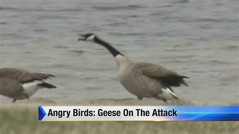 angry birds geese   attack