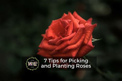 tips for planting roses 7 tips for picking and planting roses your wild home