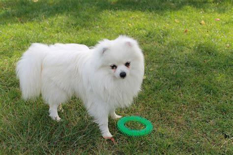 White Pomeranian Male for sale | Cambridge, Cambridgeshire ...