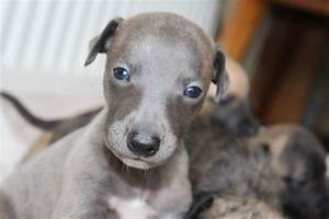 Gorgeous whippet puppies | Lymington, Hampshire | Pets4Homes