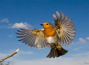robin bird flying - Google Search | Robin tattoo ideas ...