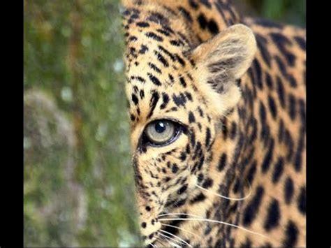 wild angry leopard  cheetah jaguaranimal fight