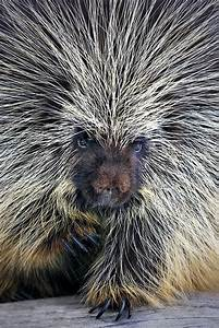 42 best images about Elephants & Porcupines/Hedgehogs on ...