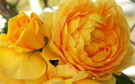 yellow roses   wallpaperscom