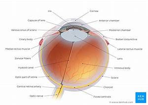 Anatomy Of The Eye  Quizzes And Diagrams