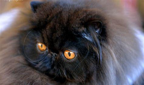 Gatti Persiani Genova gatti persiani genova 28 images vendita gatti persiani