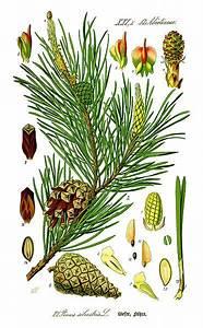 Fichier Illustration Pinus Sylvestris0 New Jpg  U2013 Wikipedia