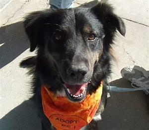 Kellary - Australian Shepherd | Humane Society of Dallas ...