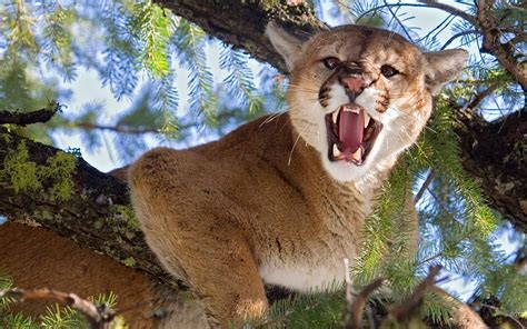 cougar wallpapers images  pictures backgrounds