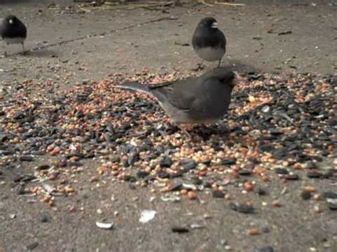 birds eating seed shot with flip mino hd youtube