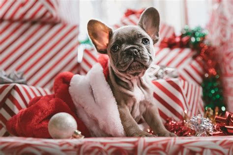 This applidogion provides hd christmas dog wallpaper that you can use for your phone. French Bulldog Christmas, HD Animals, 4k Wallpapers, Images, Backgrounds, Photos and Pictures