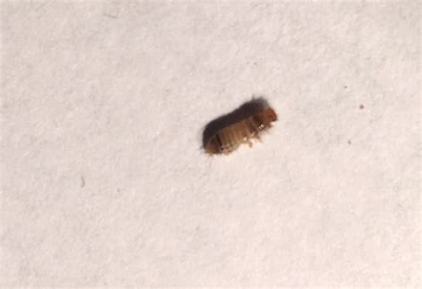 Pantry Beetles, Grain Weevils, Spider Beetles, Meal Worms And Carpet Beetles Archives Outwell Nevada M Carpet Cheapest Couch Cleaning Perth Mannington Mill Calhoun Ga Ants Under My What Colour Walls Match Grey Fishers Indiana World Area Rugs How To Remove Red Wine Stain From Cream