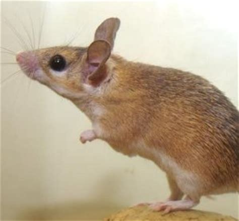 home remedies to get rid of mice grandma s tips