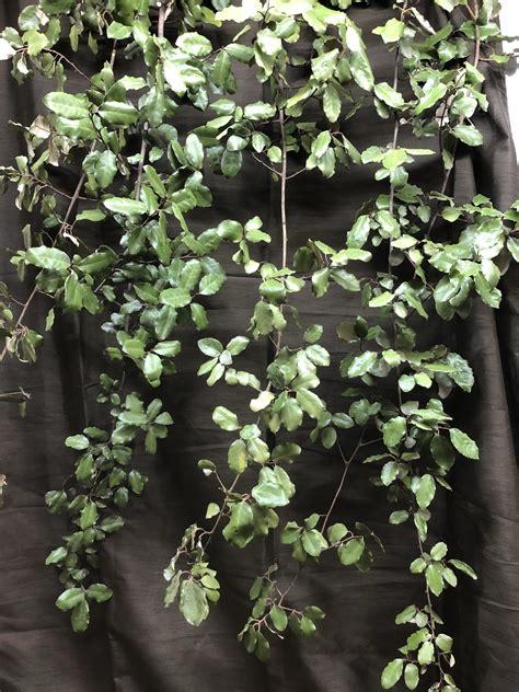 southern smilax jackson vine southernsmilax